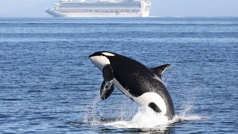 southern-resident-killer-whale.jpg