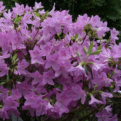 lavender-azalea.jpg