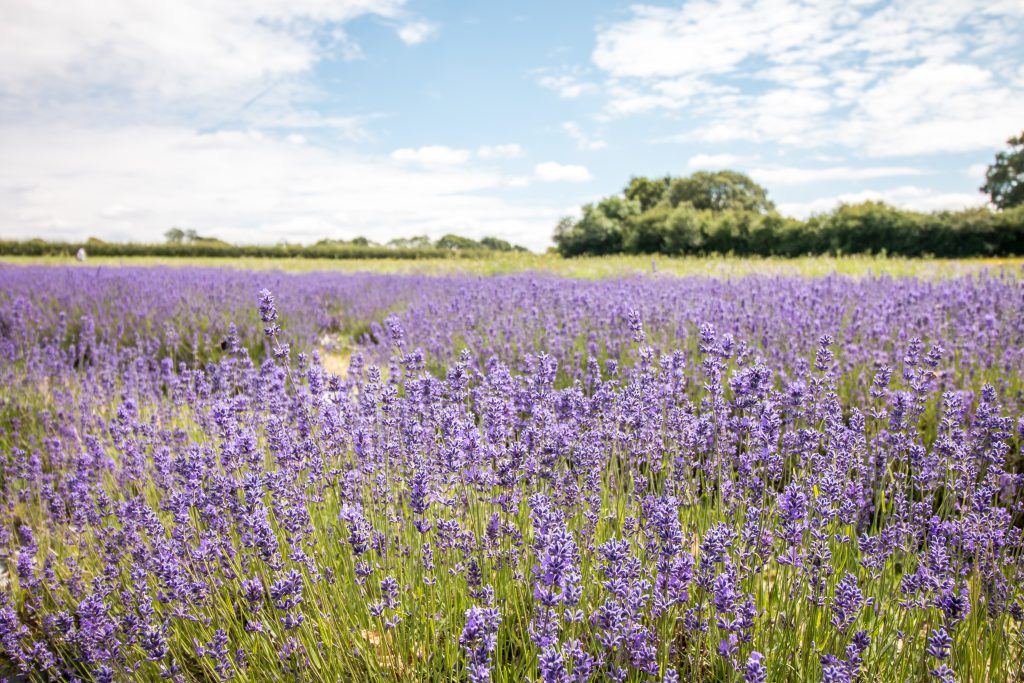 Alton Lavender Fields, Hampshire - The Project Lifestyle