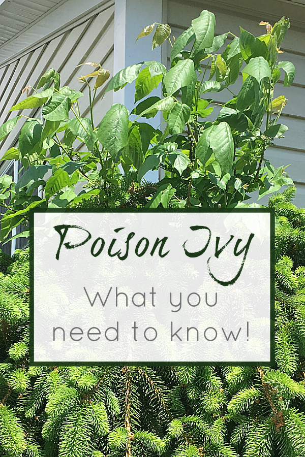 Poison Ivy - What You Need To Know!