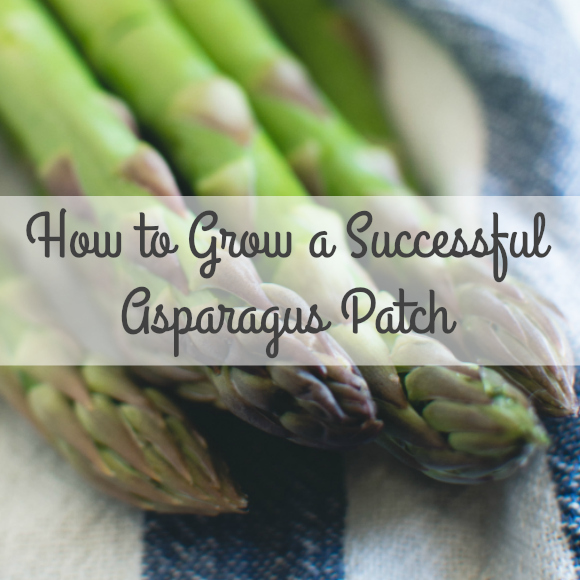 5 Tips for Growing a Successful Asparagus Patch!