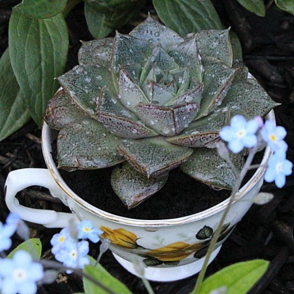 How to Plant Succulents in Pretty Tea Cups!