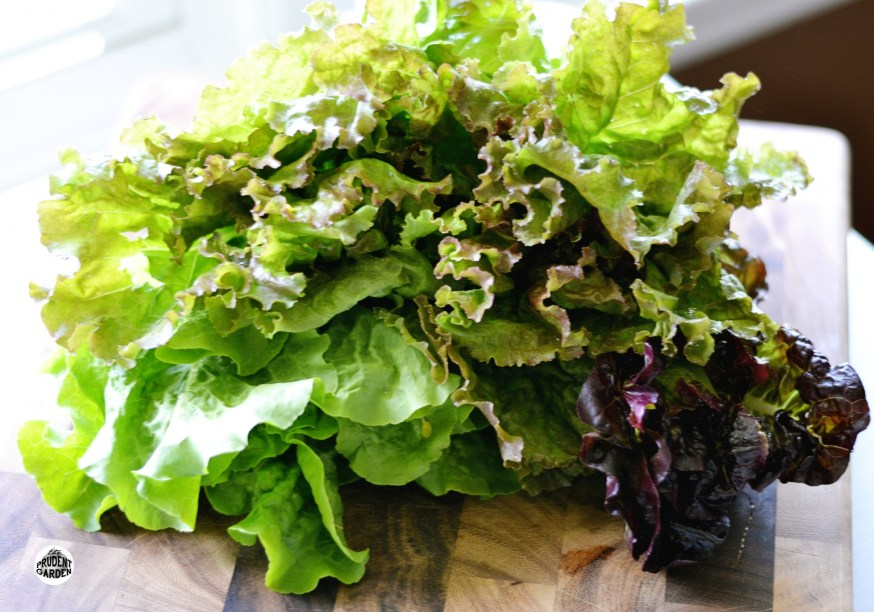mypurchases-lettuce