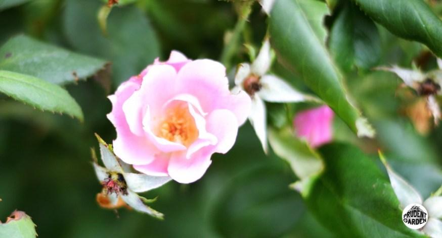 Summer Rose Pruning