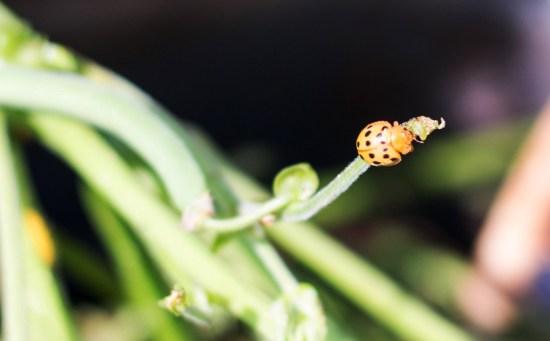 Mexican Bean Beetle Epilachna varivestis