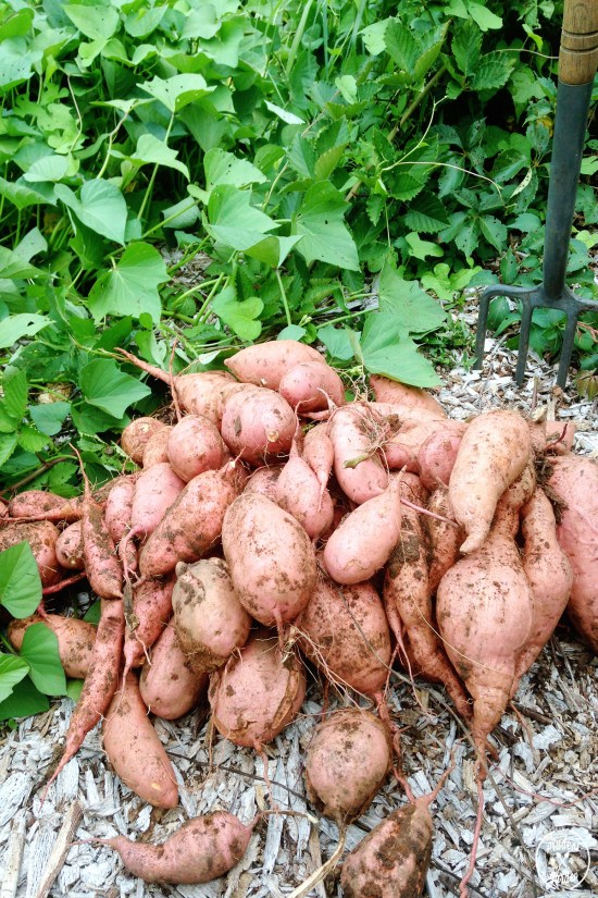 Harvesting Sweet Potatoes | It's sweet potato harvest time! Follow these tips to make harvesting and curing sweet potatoes easy and ensure the best flavor from your crop.