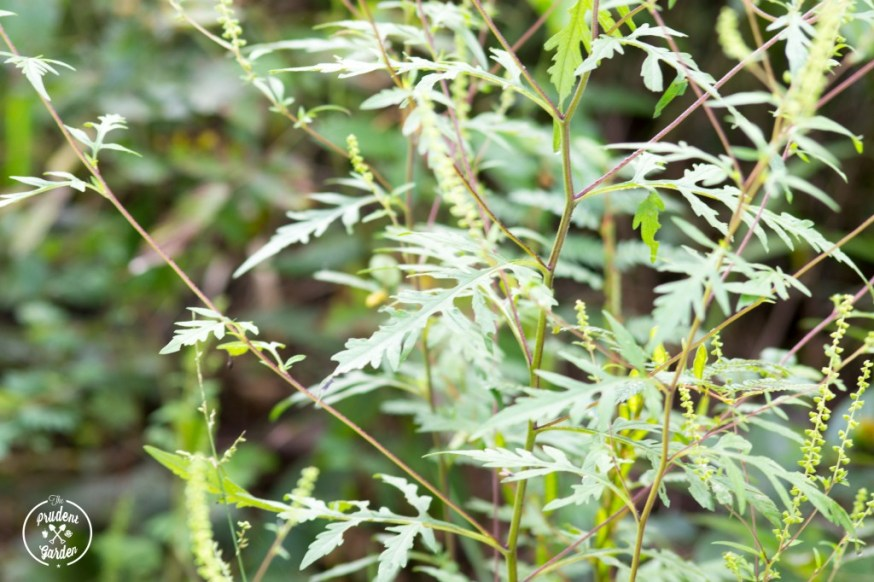 Goldenrod and ragweed could not be less similar, yet goldenrod is often confused with ragweed due to it's showiness during ragweed's bloom time.