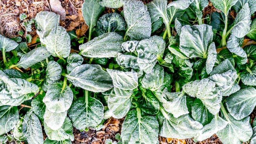 Winter Gardening: Growing Frozen Greens