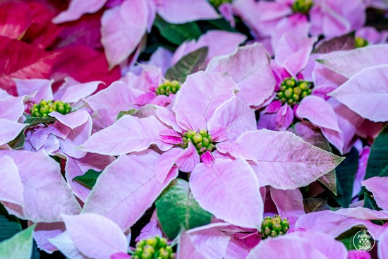 This winter, take on a new gardening challenge by keeping your holiday houseplants. Poinsettias, amaryllis, rosemary and more provide a fun garden opportunity.