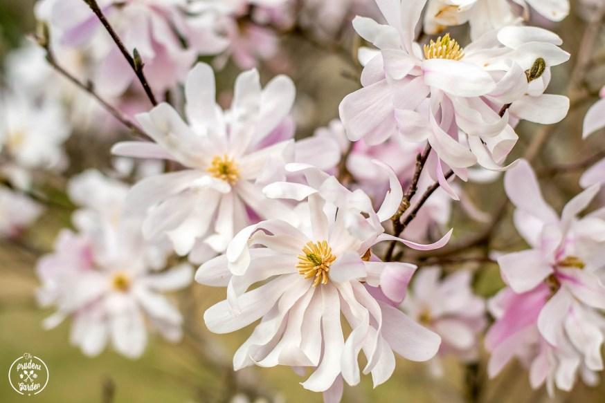Landscape Feature: Star Magnolia