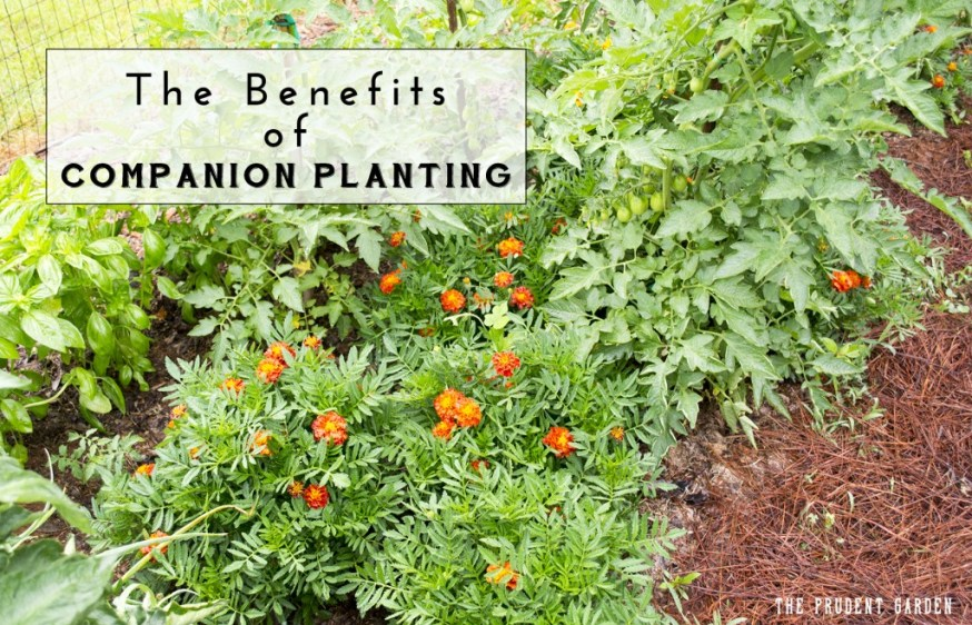 The Benefits of Companion Planting