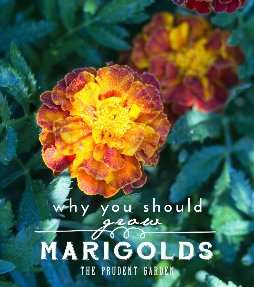 Why You Should Grow Marigolds