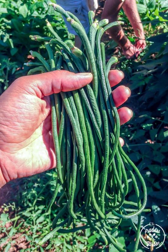 Growing Yard Long Beans| Soy Glazed Long Beans Recipe