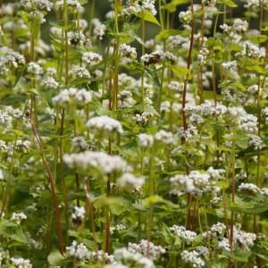 Buckwheat covercrop