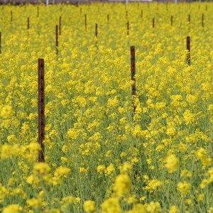 mustard covercrop