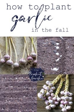 Growing garlic is a little different than growing other members of the onion family. Follow this guide to learn how to plant garlic in the fall.