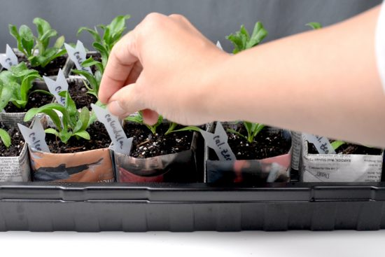 A person adding a label into a seedling pot.