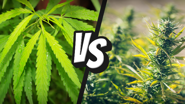 Hemp vs. cannabis is an ongoing debate.