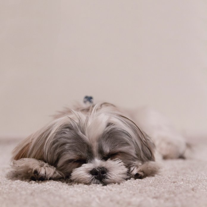 puppy fast asleep on the carpet for puppy toilet training