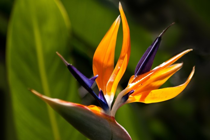 bird of paradise - Plants That Are Poisonous to Puppies