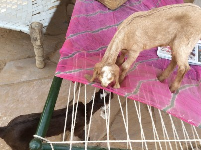 Baby goats nibbling on the bed strings