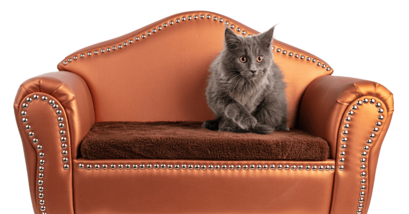 maine coon gray