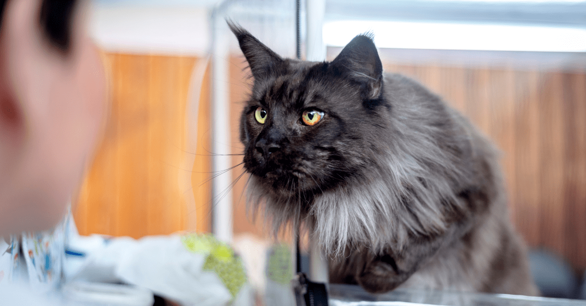 pictures black maine coon cats