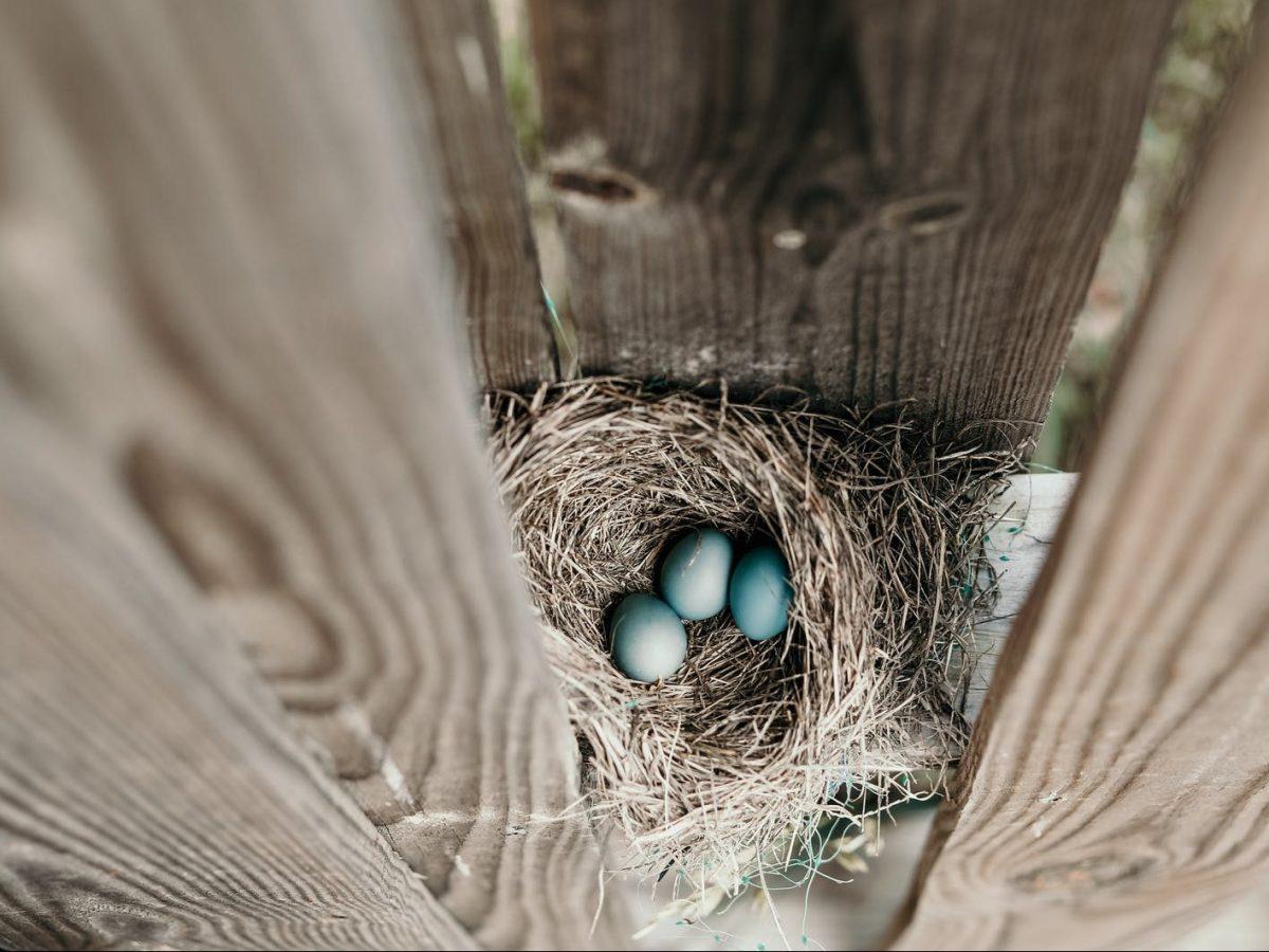 three blue eggs in nest