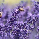 bees on purple flower
