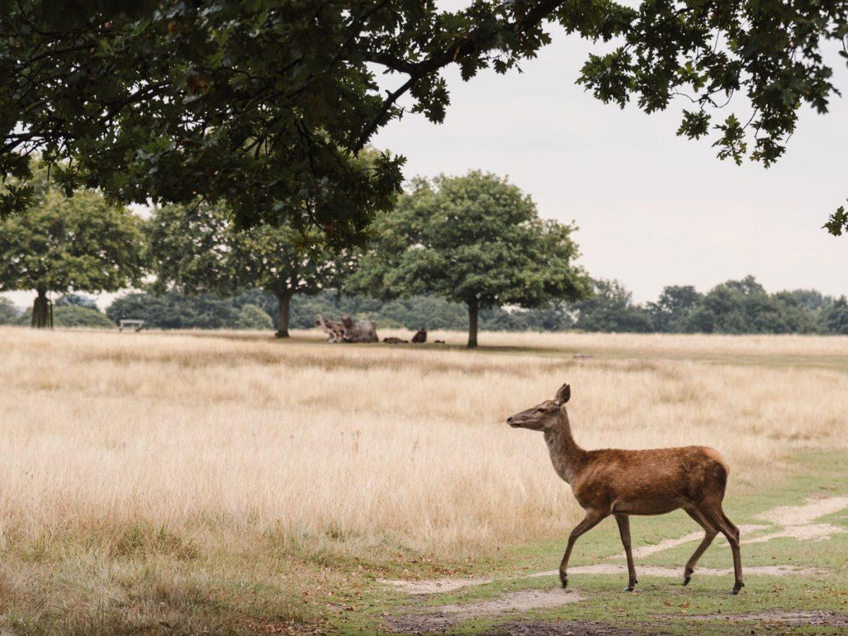 deer walking on grassy meadow