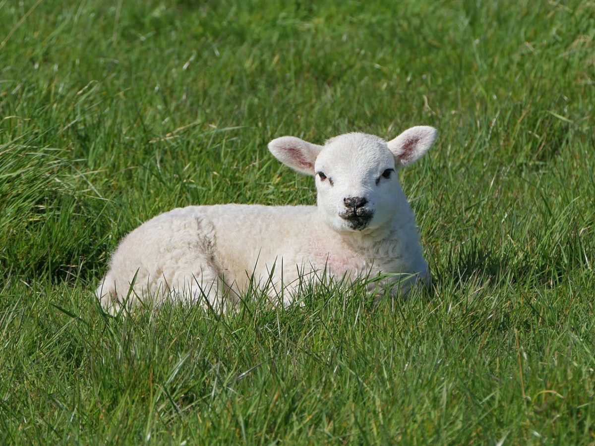 a cute white lamb resting on green grass