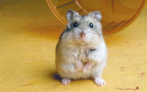 Viewpoint: Hamsters Looking To Scurry Into The Hearts of Students