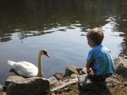 a swan,