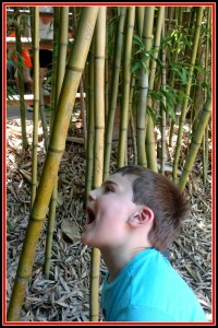 tRR O eating bamboo