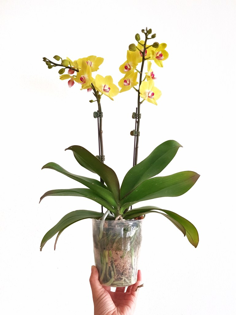 Orchid from the market with sphagnum moss