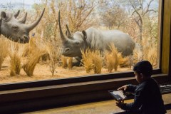 A young boy reads about the white rhinoceros.