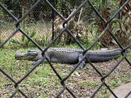 He's 12-feet long!