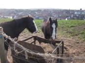The grumpiest ponies in Whitby