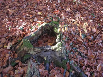 A stump, surrounded by fallen leaves