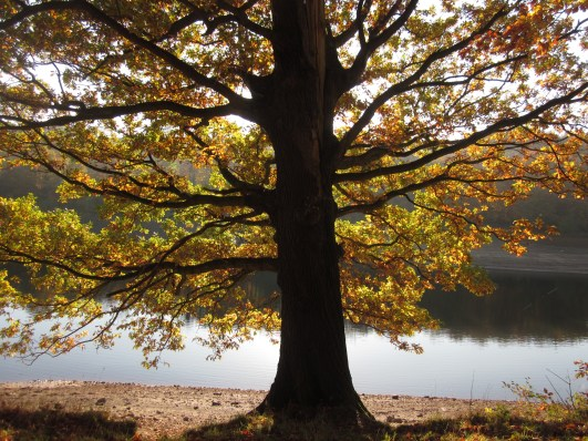 Oak tree against the reservoir