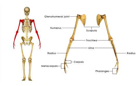 scapula-shoulder-mobility-glenohumeral