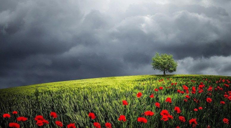 tree-poppy