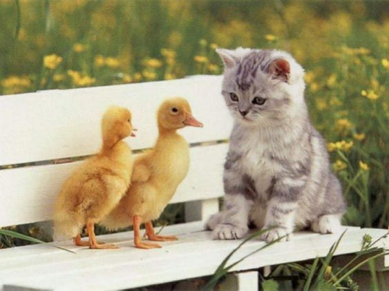 cat n ducks
