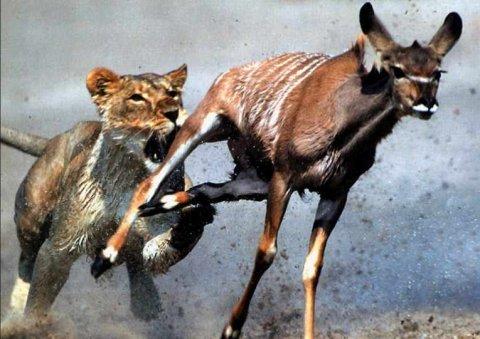 lion-chasing-gazelle