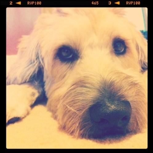 Wheaten Terrier, Cute Dog