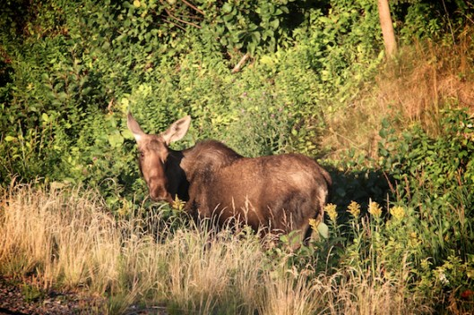 Cape Breton, The Cabot Trail, Nova Scotia Coastline, Cape Breton Moose