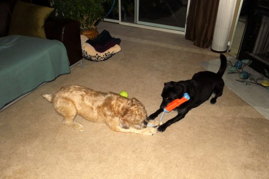 Lab mix, Wheaten Terrier, Dogs tug of war