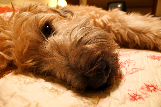 Cute Wheaten Terrier, Wheaten Terrier, Dogs that look like teddy bears