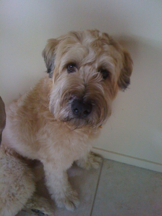 thereafterish, wheaten terrier, hawaii life, my hawaii life