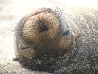 Sealion, Galapagos Islands 2010